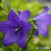 庭の桔梗の花