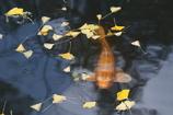 鯉に落ち葉