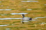 公園の池に来る鳥
