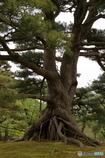 兼六園の根上がりの松