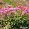 伊吹山の花7