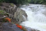 渓流の岩つつじ