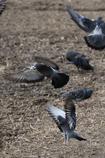食事中の鳩