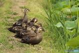 鴨の親子1