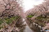 五条川の桜1