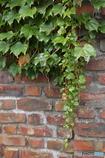 煉瓦塀に蔦