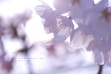HANA・HANA 146 Sakura-saku