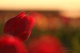 HANA・HANA 151 Tulip
