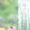 HANA・HANA 84 (Lavender)