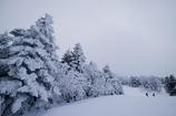 クリスマスツリーになったアオモリトドマツ