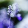HANA・HANA 89 (Salvia farinacea)