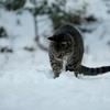 雪を食べるタヌキ・・・・・・・・・・・・じゃなかった「ネコ」だった♪