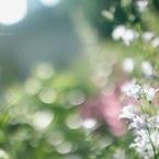 CANON Canon EOS 60Dで撮影した(Shining flowers)の写真(画像)