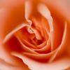 通勤経路の薔薇 2