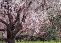HASSELBLAD 503CXで撮影した(霞む枝垂れ桜)の写真(画像)