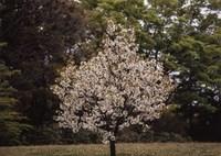 HASSELBLAD 503CXで撮影した(一本桜)の写真(画像)