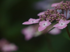紫陽花背景色々