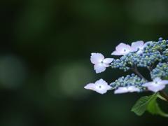 紫陽花ブルー