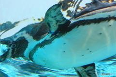 ペンギンの遊泳