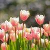 咲いた咲いたチューリップの花が♬