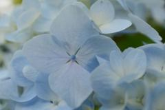 紫陽花 (1)