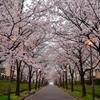 桜並木2017