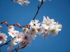 散歩道見上げれば、桜