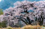 名刹の一本桜