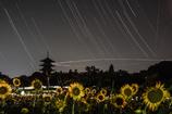 夜のサンフラワー