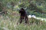 サバンナの黒豹