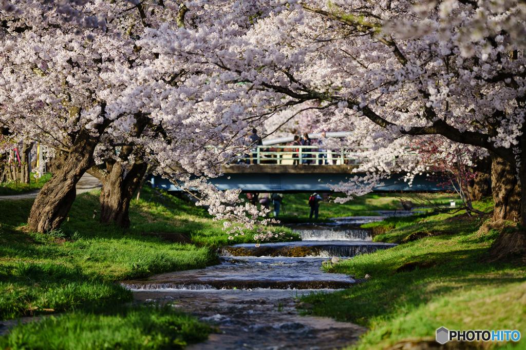 観音寺川の桜 1