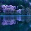 2017 桜5(中綱湖)
