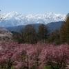 2017 桜2(立屋の桜と北アルプス)