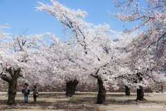 2017 桜 (松代城址公園)
