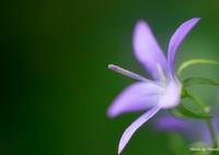 CANON Canon EOS Kiss X5で撮影した(星の花2)の写真(画像)