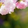 2017 桜4(我が家の桜)