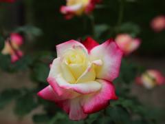 バラの季節Ⅷ