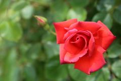 バラの季節Ⅶ