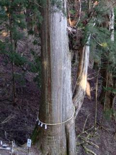 樹齢3000年の大木。