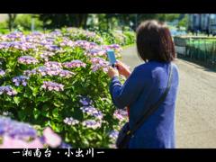 紫陽花ロード(藤沢市)