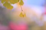 秋色背景  おまけ・・  友情出演 公孫樹・・