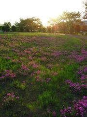 2017/04/30_花の丘農林公苑の夕暮れ芝桜
