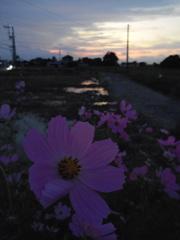 2017/09/24_コスモスと水田の夕暮れ