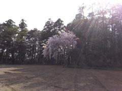 2018/04/01_畑の中の一本桜