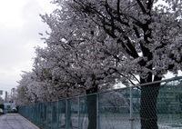 2017/04/09_曇天の桜