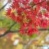 身近な秋-紅葉-2