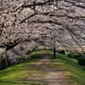 桜花トンネル