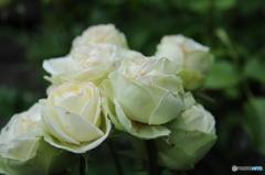 薔薇便り-48