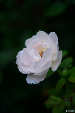 薔薇便り-58