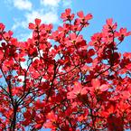庭の花水木-2
